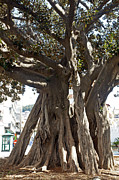 Epiphyte Metal Prints - Banyan trees in Velez Malagas Parque de Andalucia Metal Print by Rod Jones