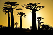 Michele Burgess - Baobab Silhouette