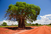 Baobab Posters - Baobab tree on red soil road Poster by Michal Bednarek