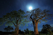 Moonlit Night Photos - Baobabs at Night by Tom Schwabel