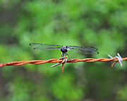 Dragon Fly Photo Framed Prints - Bar Winged on Barbed Wire Framed Print by Al Powell Photography USA