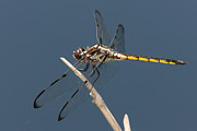 Polk County Florida Photos - Bar-winged Skimmer Dragonfly I by Clarence Holmes
