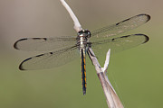 Polk County Florida Photos - Bar-winged Skimmer Dragonfly II by Clarence Holmes