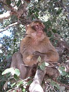 Ape Photo Originals - Barbary Ape in Morocco by Pedro I Orta