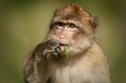 Macaques Prints - Barbary Macaque Print by Andy Astbury