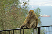 Tony Murtagh - Barbary Macaque