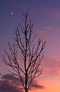 Crescent Moon Framed Prints - Bare Tree and Crescent Moon at Dusk Framed Print by Anna Lisa Yoder