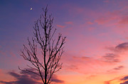 Crescent Moon Framed Prints - Bare Tree in Sunset with Crescent Moon Framed Print by Anna Lisa Yoder