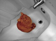 Shower Curtain Art - Bari The Cat by Andrea Galiffi