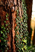Jacqui Collett Framed Prints - Bark and Ivy Framed Print by Jacqui Collett