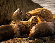 Sea Lions Prints - Bark Bark Print by Rick Barnard