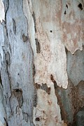 Tracey Harrington-Simpson - Bark Of A Eucalyptus Tree