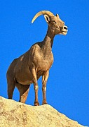 Big Horn Sheep Photos - Barker Big Horn by Adam Jewell