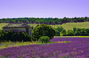 Dany  Lison - Barn among the lavender...