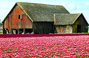 Annie Pflueger Art - Barn and Tulips by Annie Pflueger