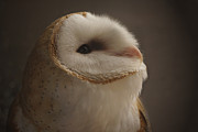 Barn Owls Prints - Barn Owl 4 Print by Ernie Echols