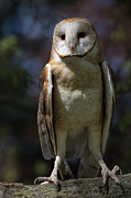 Barn Owls Framed Prints - Barn Owl Framed Print by Dale Kincaid