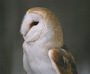 David Porteus - Barn Owl