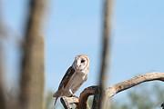 Barn Owl Print by David S Reynolds