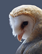 Barn Digital Art Metal Prints - Barn Owl Dry Brushed Metal Print by Ernie Echols