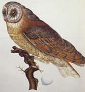 Bird Drawings Posters - Barn Owl Poster by Dutch School