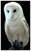 Struckle Prints - Barn Owl. Print by Kathleen Struckle