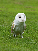 Hobgoblin Framed Prints - Barn Owl Framed Print by Phil Stone