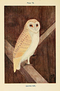 Audubon Drawings Posters - Barn Owl Poster by Philip Ralley