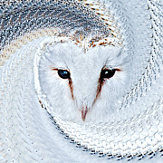Animal Pyrography Posters - Barn Owl Portrait Tyto Alba Poster by Karl Wilson