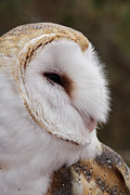 Barn Owl Profile Print by Theo