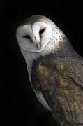 Tim Moore - Barn Owl
