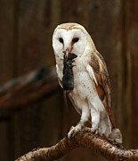 Shelley Myke Prints - Barn Owl with Catch of the Day Print by Inspired Nature Photography By Shelley Myke