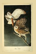 Audubon Drawings Posters - Barn Owls Poster by John James Audubon