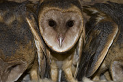 Reva Dow - Barn Owls