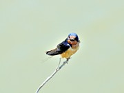Kathy King - Barn Swallow