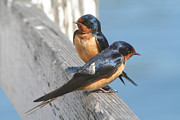 Bob and Jan Shriner - Barn Swallow Pair