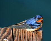 Birds On Barn Prints - Barn Swallow Perching Print by Bob and Jan Shriner