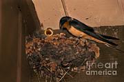 Barn Swallow Print by Ron Sanford