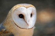 Andrea Silies - Barnaby The Barn Owl