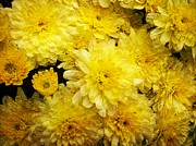 Spirit Baker - Baroque Yellow Mums