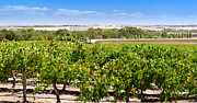 Tim Hester - Barossa Valley Grapevines