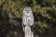Gary Hall - Barred Owl 2