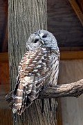Photos With Red Photo Prints - Barred Owl 264 Print by Joyce StJames