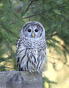 Black Eyes Posters - Barred Owl Poster by Angie Vogel