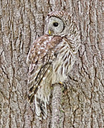 Barred Owls Framed Prints - Barred Owl Camouflage Framed Print by Jennie Marie Schell