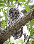 Curious Framed Prints - Barred Owl Framed Print by Chris Dutton