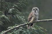 Behm Framed Prints - Barred Owl  Framed Print by Daniel Behm