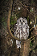 David Gleeson - Barred Owl