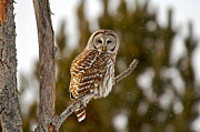Paul OToole - Barred owl during a...
