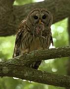 Adam Jewell - Barred Owl Eating A Rat